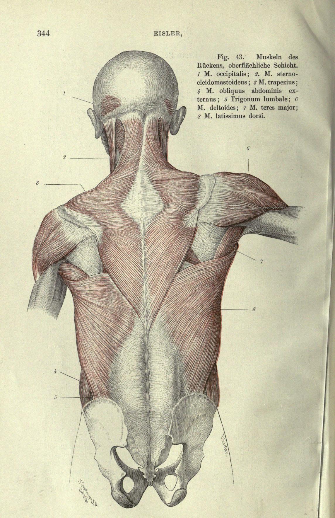 Handbuch der Anatomie des Menschen | Human Anatomy Reference ...