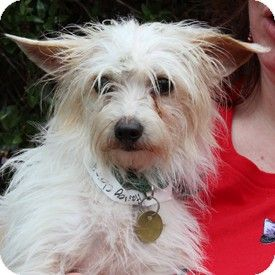 Walnut Creek Ca Cairn Terrier Maltese Mix Meet Henry Clarence