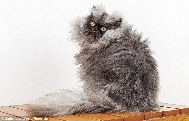 Cómo mantener el pelaje de mi gato perfecto. https://theyellowpet.blog/mantener-pelaje-perfecto/