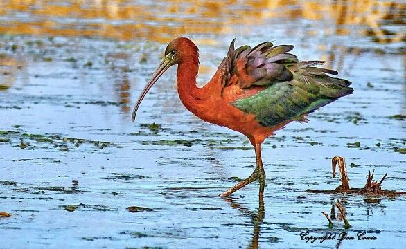 Glossy Ibis In the early morning light