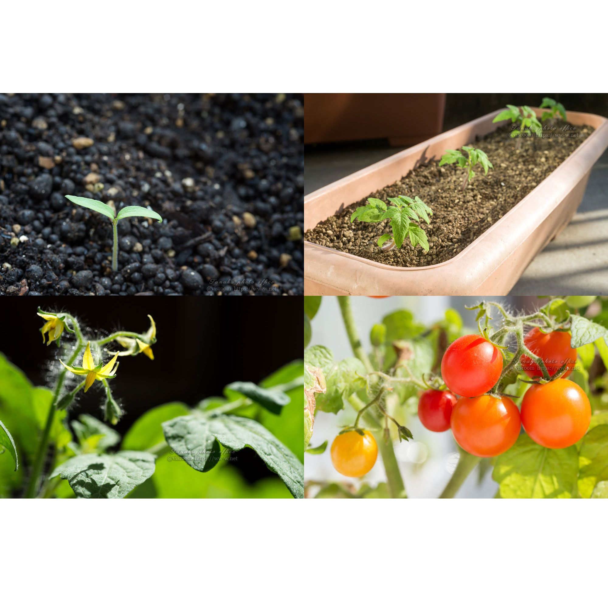 Growth Small Tomatoes That Planter Cultivation ミニトマトの