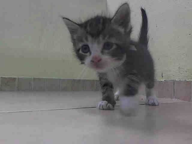 TO BE DESTROYED 8/25/14 ** BABY ALERT! ONLY 5 WEEKS OLD! friendly and allowed handling Five kittens:  A1011409, 409, 410, 411, 415 ** Brooklyn Center  My name is SEBASTIAN. My Animal ID # is A1011410.  I am a male brn tabby and white domestic sh mix. The shelter thinks I am about 5 WEEKS old.   I came in the shelter as a STRAY on 08/21/2014 from NY 11208, Group/Litter #K14-191145.