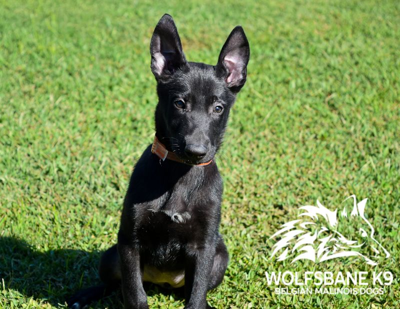 Black Belgian Malinois Puppy