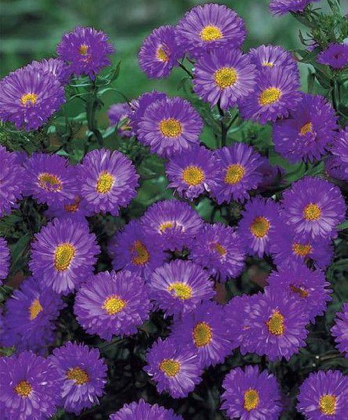 Aster Dumosus Hybr Purple Dome Family Asteraceae Origin Hybrid Origin A Terrific Aster To Com Fall Blooming Flowers Fall Perennials Fall Flowers Garden