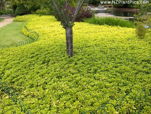 """Ten Top Tips For Small Shady Urban Gardens: Pachysandra Ground Cover :: 10""""tall Slowly Spreads :: Part"""