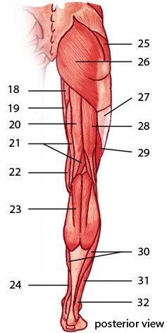 The muscles of the lower limb, posterior aspect | anatomy 1 ...