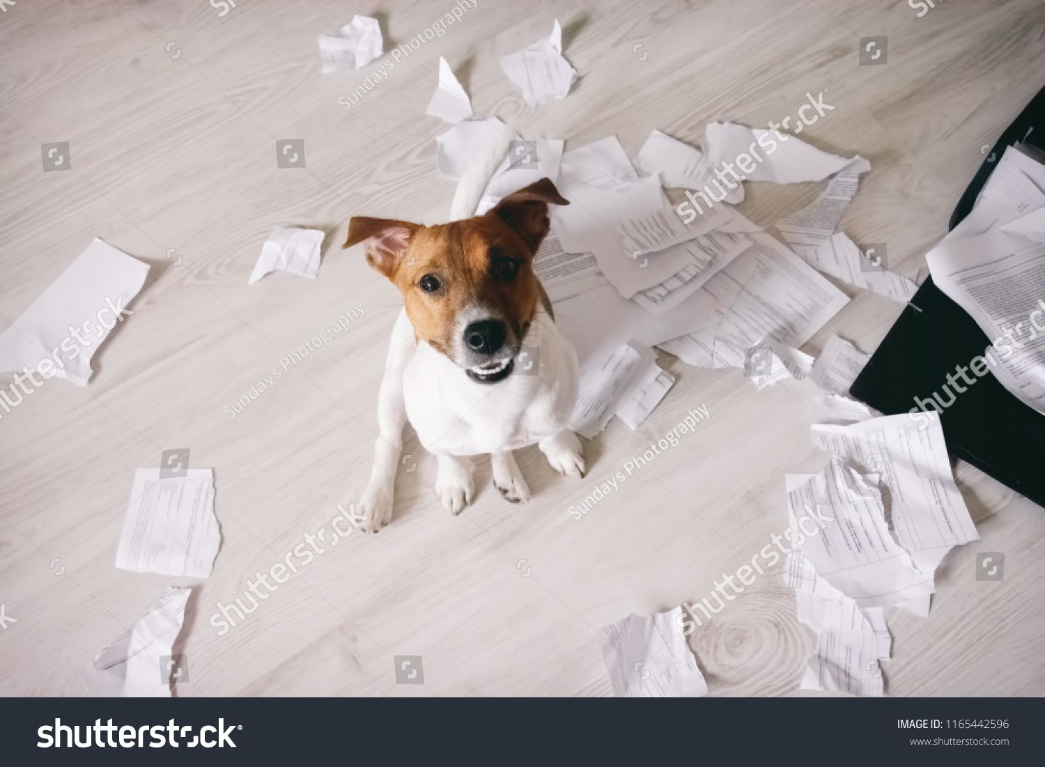 Bad Dog Shred Important Documents Naughty Pets At Home Bad Puppy Looking Up On His Owner An Bad Dog Business Cards Creative Templates Business Cards Creative