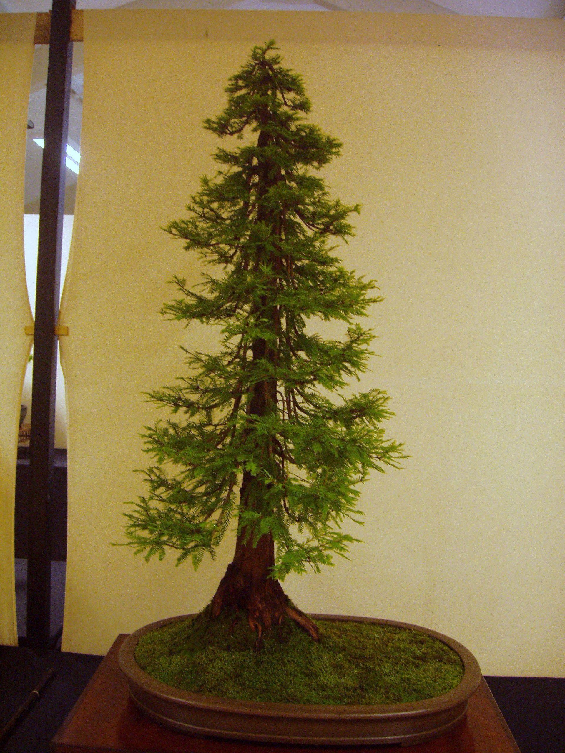 Dawn Redwood Bonsai Tree Care Bonsai Tree