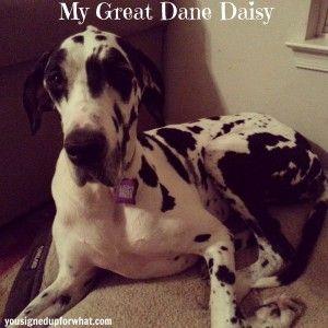 Daisy Great Dane