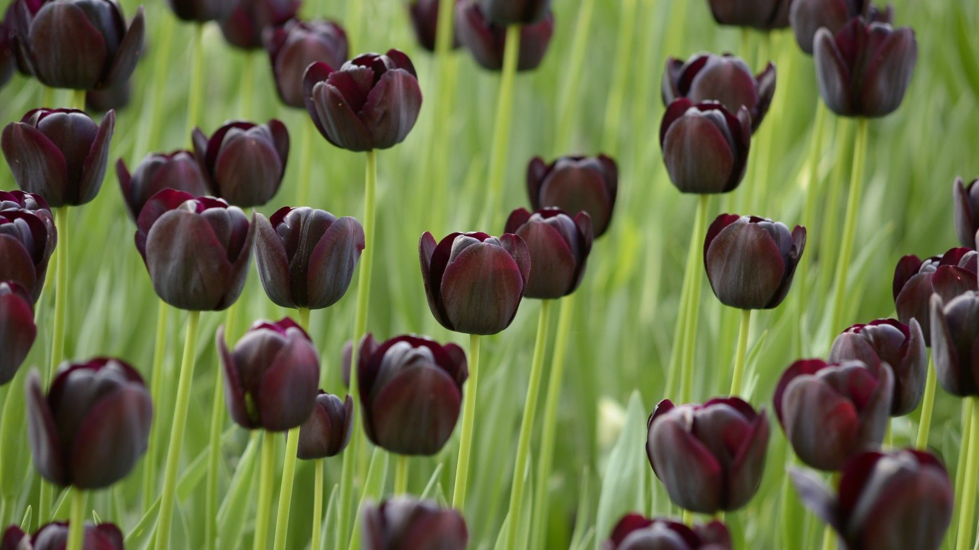 Black Tulip: means mistery. Black colour is strength, seriousness, elegance, prestige, power, and authority. // Tulipán Negro: significa misterio. El color negro es la fuerza, seriedad, elegancia, prestigio, poder y autoridad.