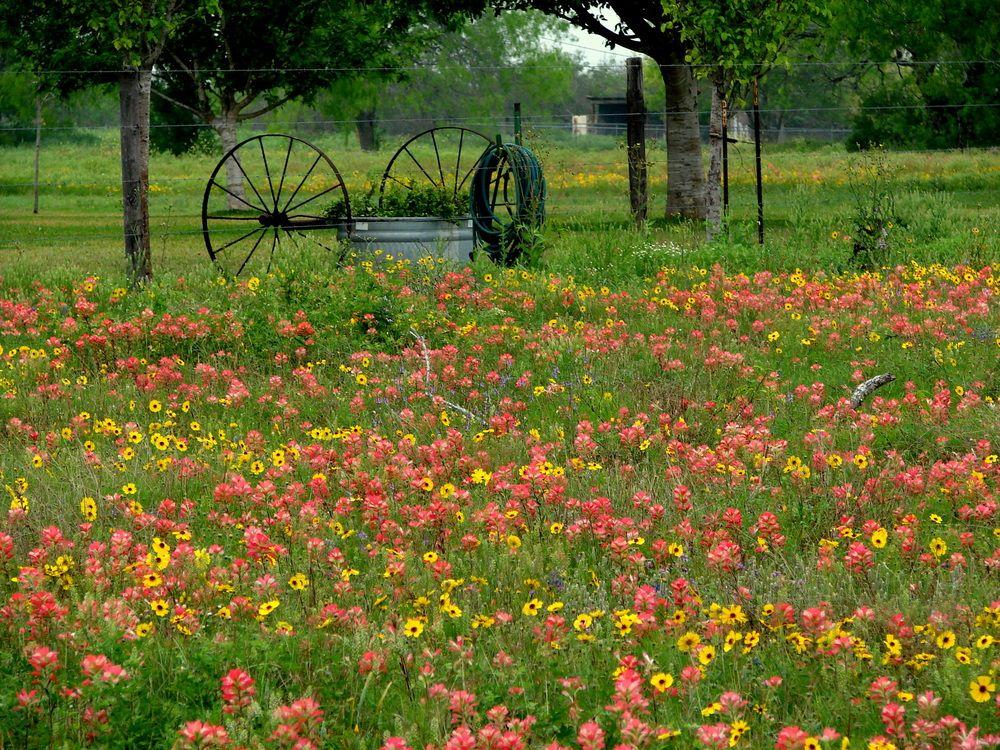 Texas Wild Flowers Texas wildflowers near Floresville