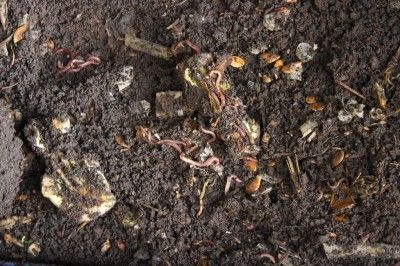 Help, My Worm Bin Smells Bad – Reasons For Smelly Vermicompost