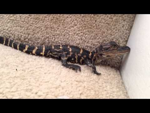 Alligator Gets Ready For School By Climbing Fence Youtube