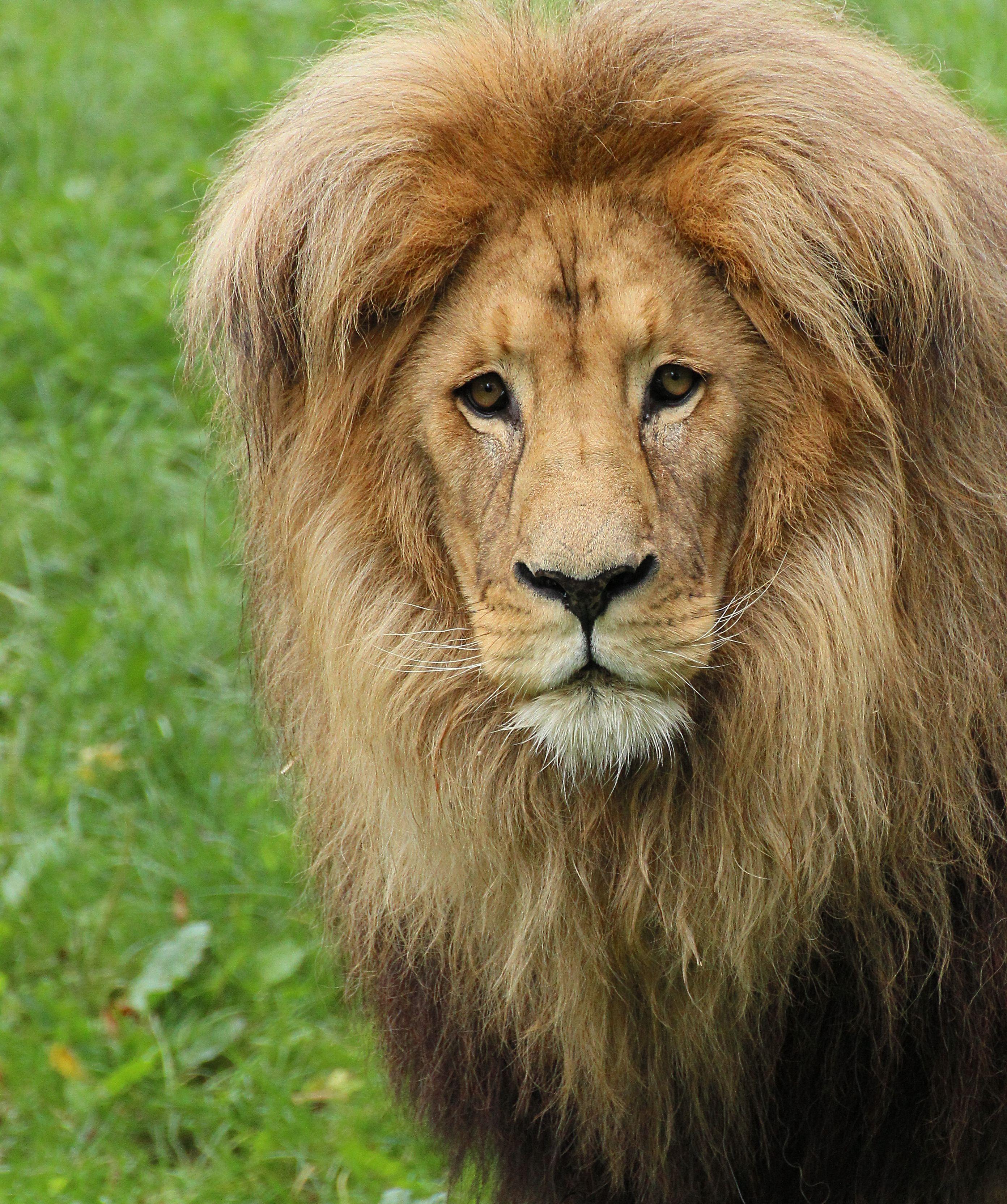 Katanga Lion (Panthera leo bleyenberghi) Panthera leo
