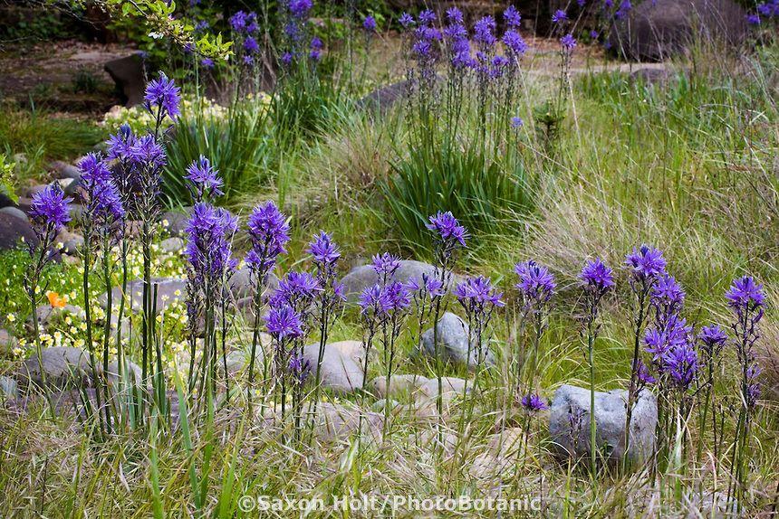 Blue Flowering Native California Bulb Wildflower Camas Lily