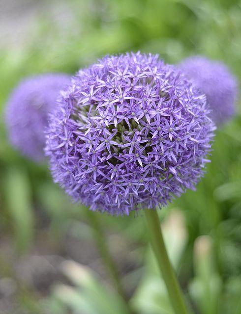 Allium Flowers Allium My Flower