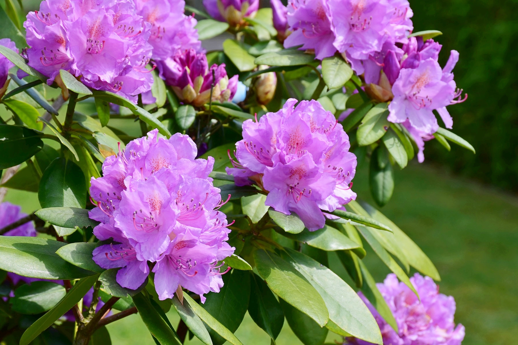 Rhododendrons Rhododendron plant, Plants, Planting flowers