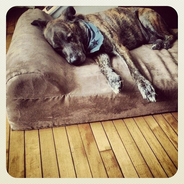 Here's #mydog Hank on one of his #BigBarker #DogBeds. #passedout #outcold [made for big dogs. will never flatten. 10 year warranty. handmade in USA!]  --> available at http://bigbarker.com <-- #BigBarker #DogBeds