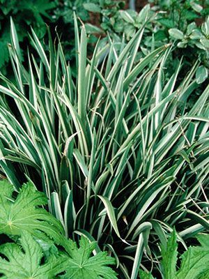 Iris Foetidissima Variegata From Secret Garden Growers