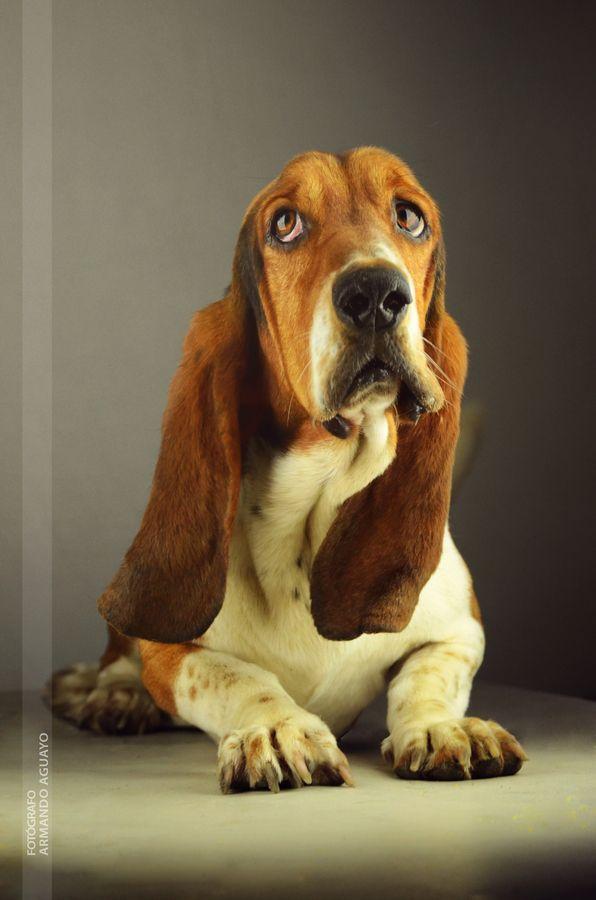 "Mi perro ""Napoleón"" // basset hound by Armando Aguayo Rivera, via 500px"