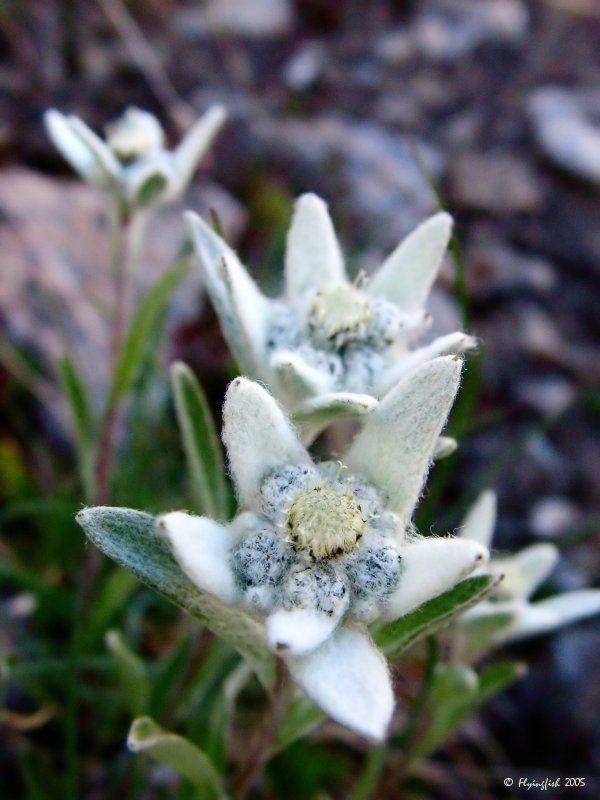 Edelweiss Beautiful Flowers Garden Edelweiss Flower Beautiful Flowers