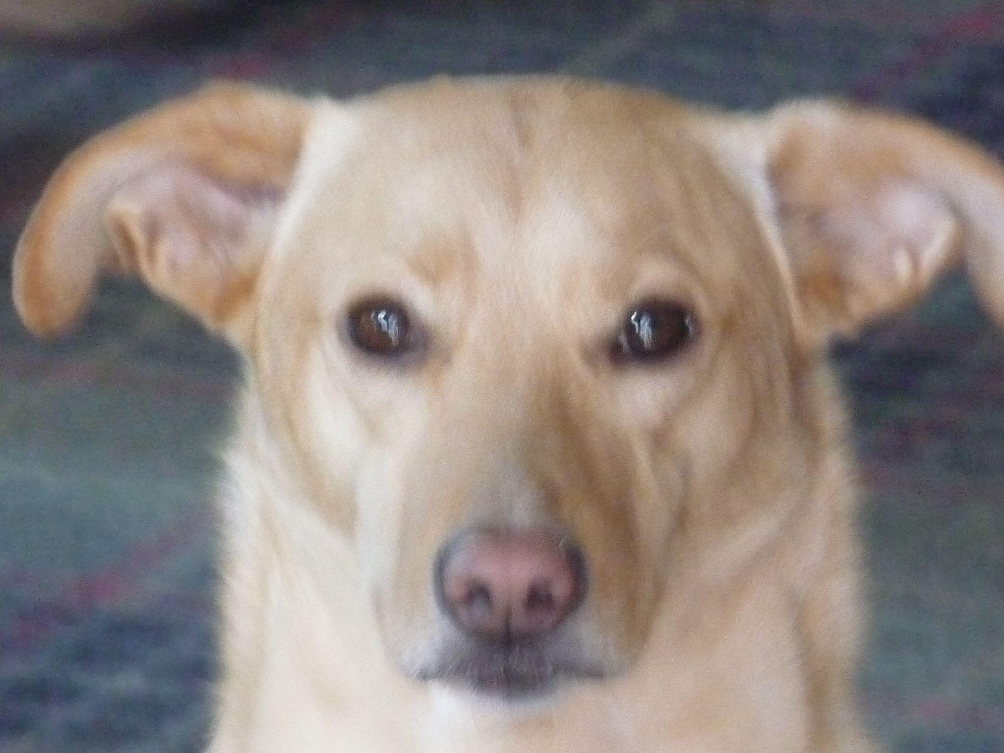 Teddy! Labrador retriever, Dogs, Animals