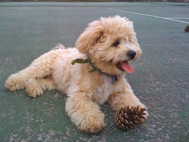 Imperial Shih Tzu Full Grown Shichon Puppies Havanese Puppies
