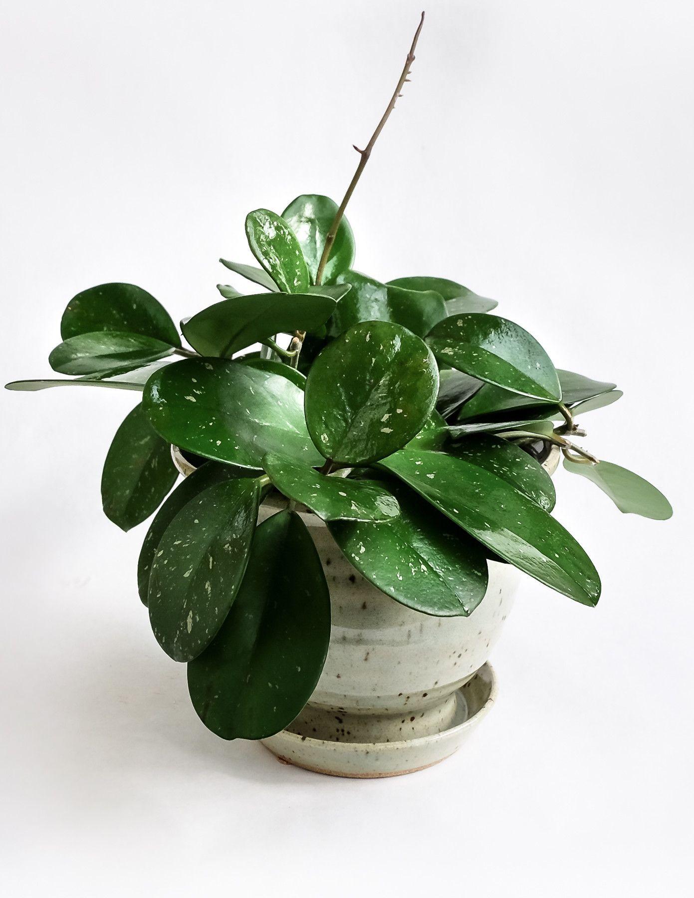 Hoya obovata | Plants, Indoor plants, Hoya plants