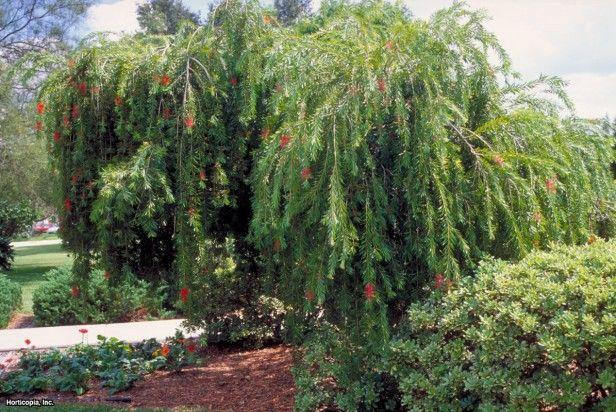 Weeping Bottlebrush Callistemon Viminalis In Tree Form