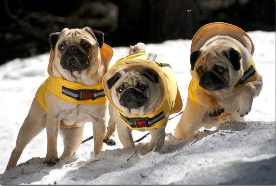 Search And Rescue Pugs Yah Pugs Pug Rescue Pug Mug