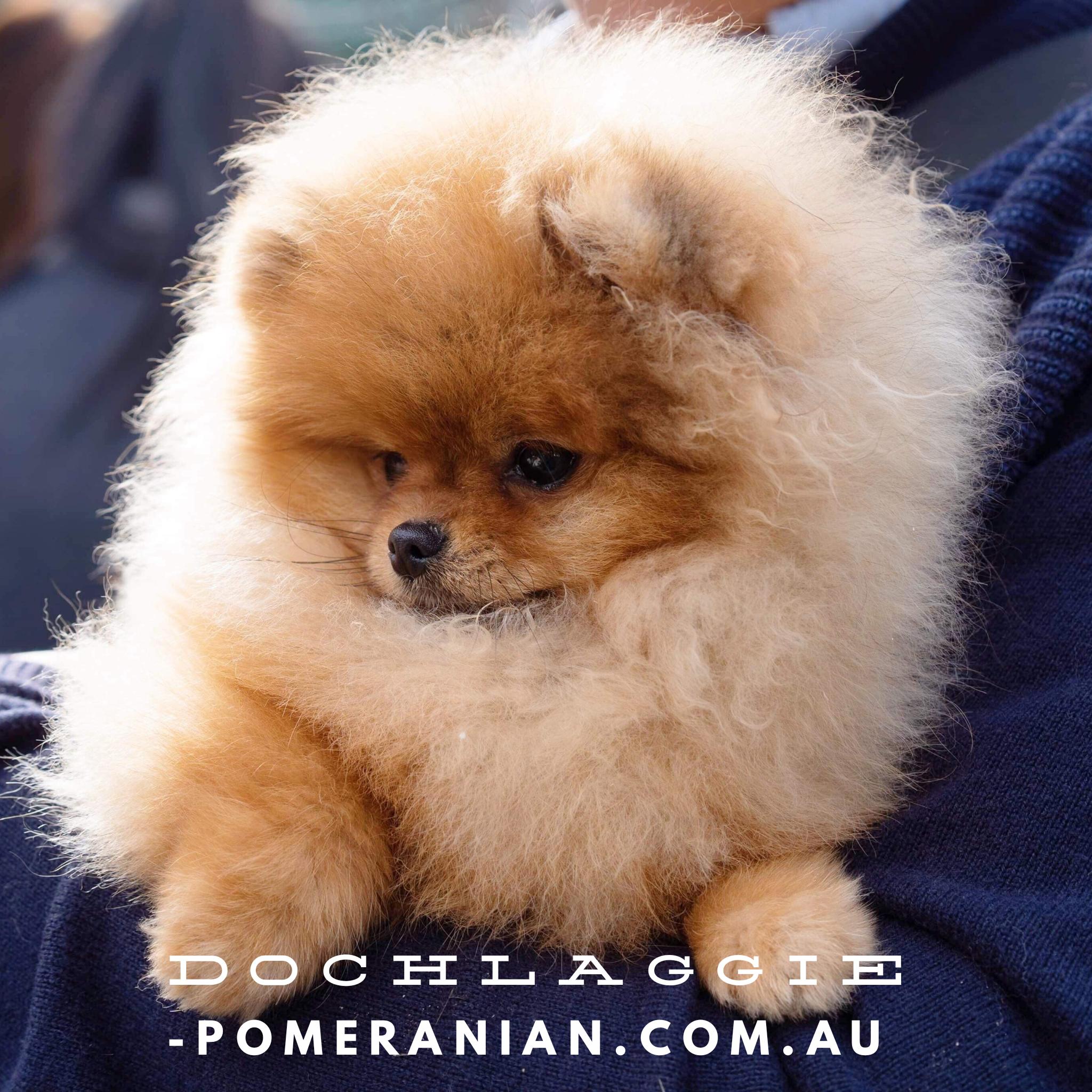 Dochlaggie Pomeranian Puppies Melbourne Dochlaggie Dochlaggiepomeranians Pomeranians Pomeranian Pomeraniandog Pomeranian Dog Cute Dogs Pomeranian Puppy