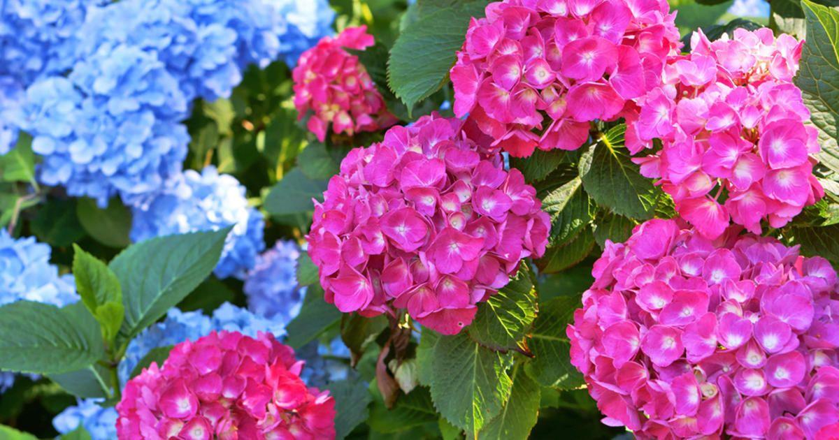 Hortensien Pflanzen Tipps Fur Beet Und Topf Pflanzen Hortensienpflanze Bluhende Pflanzen