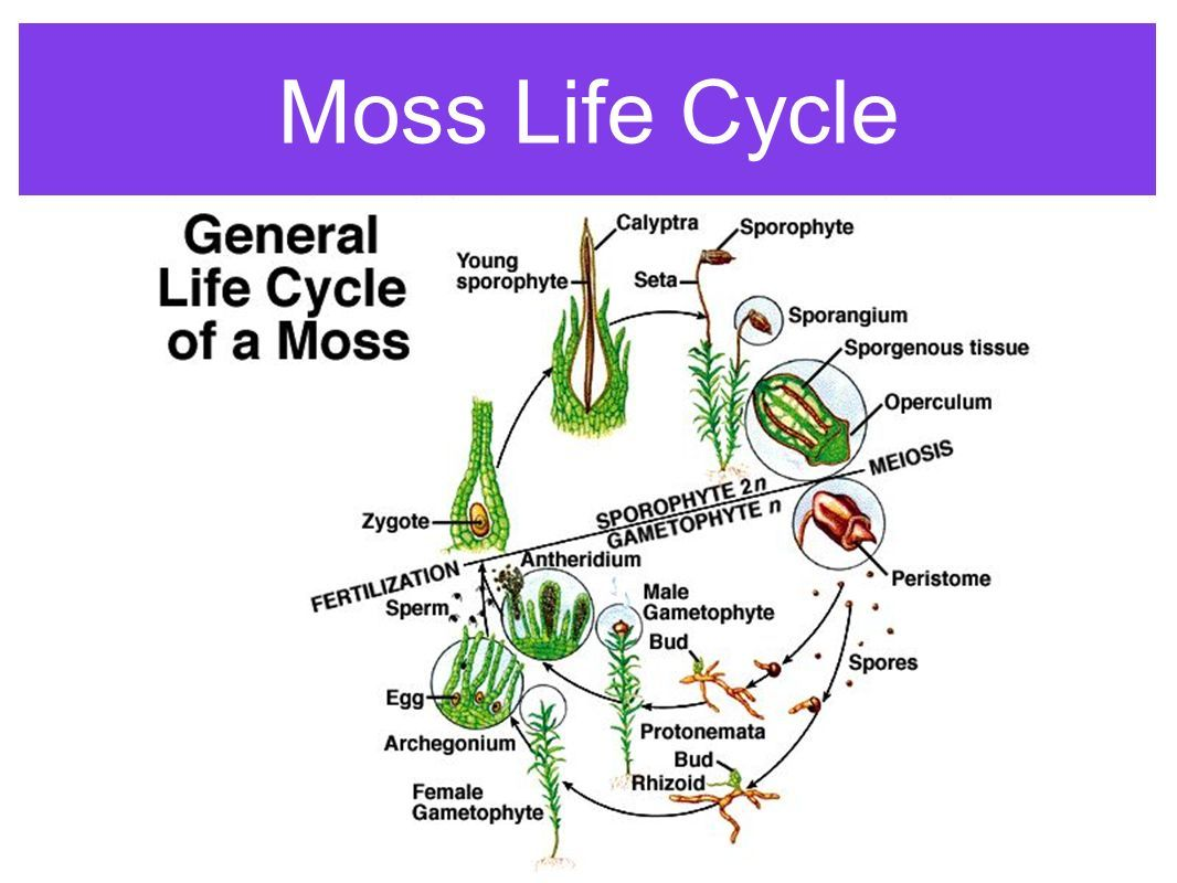 General Life Cycle Of A Moss