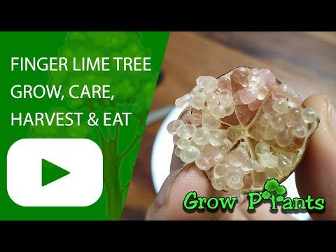 Photo of Finger Lime tree growing instruction & requirement Finger Lime tree info: climat…