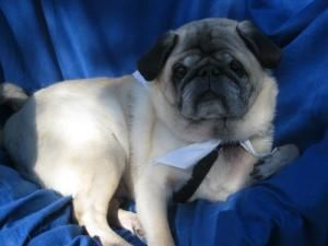 Adopt Cid On Adopted Dogs Pug Rescue Dog Sounds