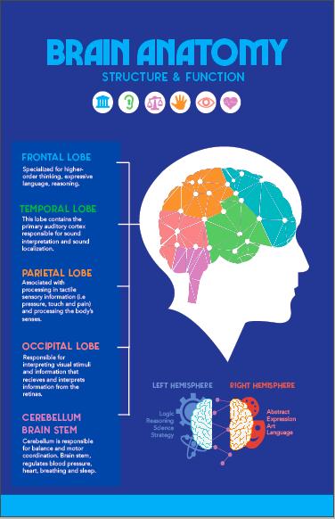Pin by Shamis Hussein on AVT 311   Brain anatomy ...