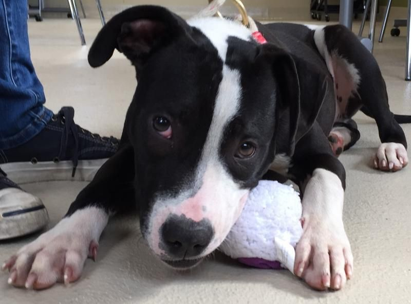 Adopt Ozzie On Pitbull Terrier Terrier Mix Dogs Dogs