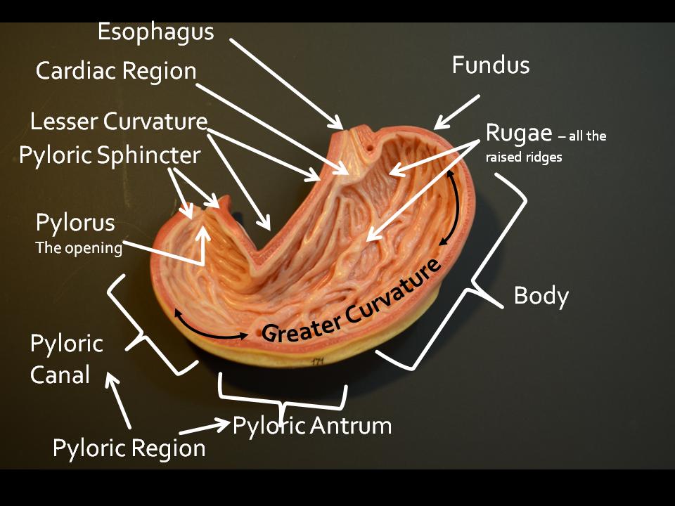 Stomach model anatomy
