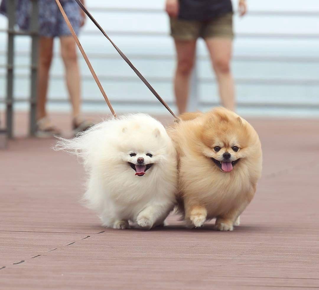 So adorable pomeranian pinterest pomeranians dog and animal so adorable pomeranian puppyteacup nvjuhfo Image collections