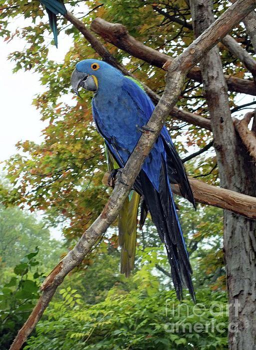 Hyacinth Macaw by Cindy Treger
