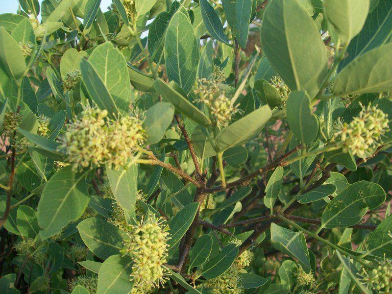 Boscia Angustifolia       Flowers and leaves         Rough-leaved Shepherds Tree    Skurweblaarwitgat         8 m       S A no 122,1