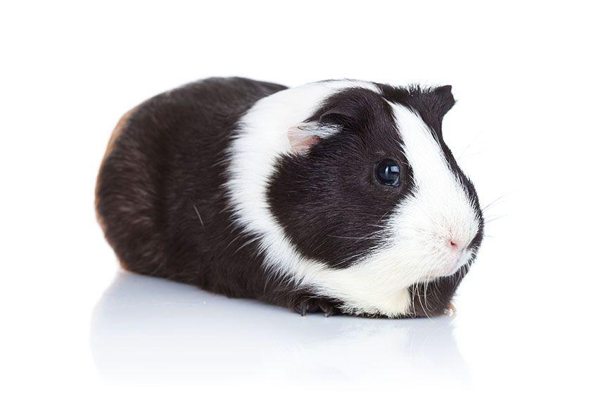 Pin Op Guinea Pig Hamster