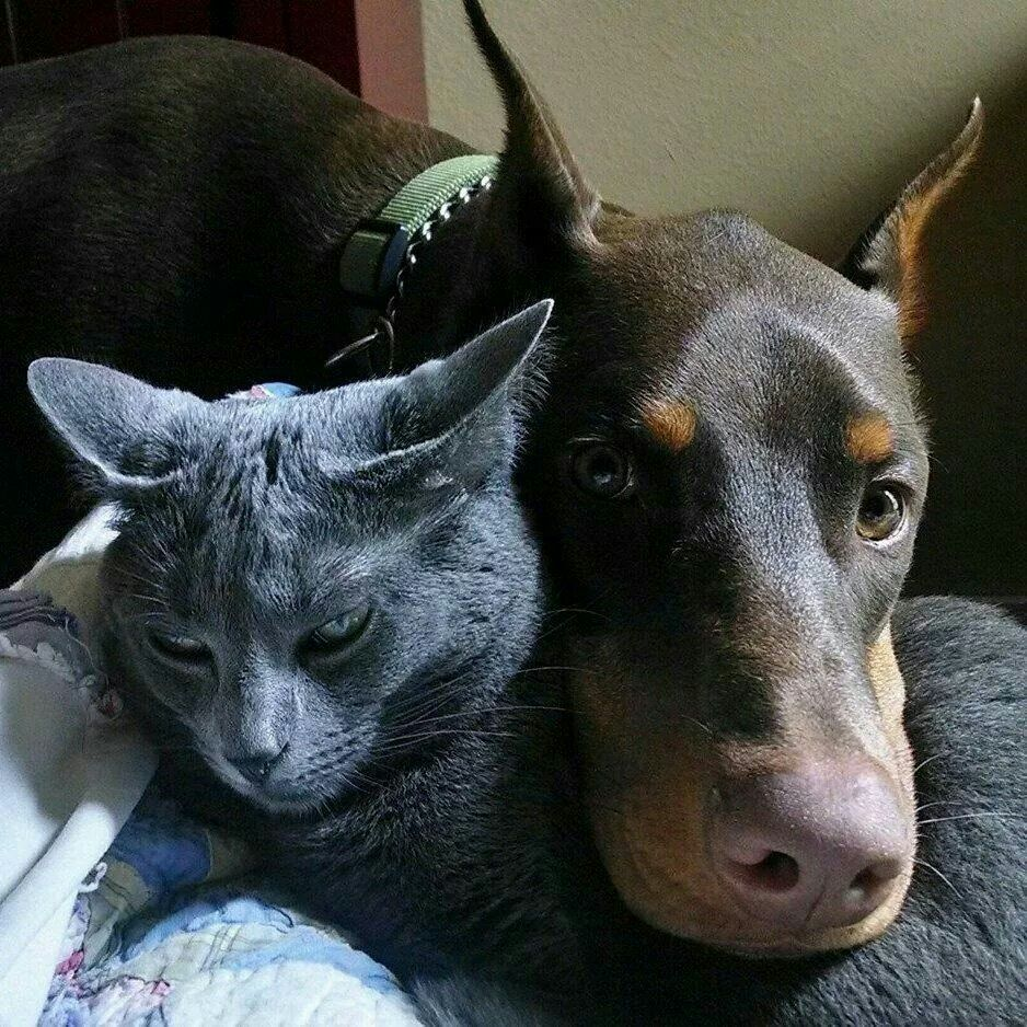 Doberman With Blue Cat Dobermann Pinscher Doberman Dogs Doberman
