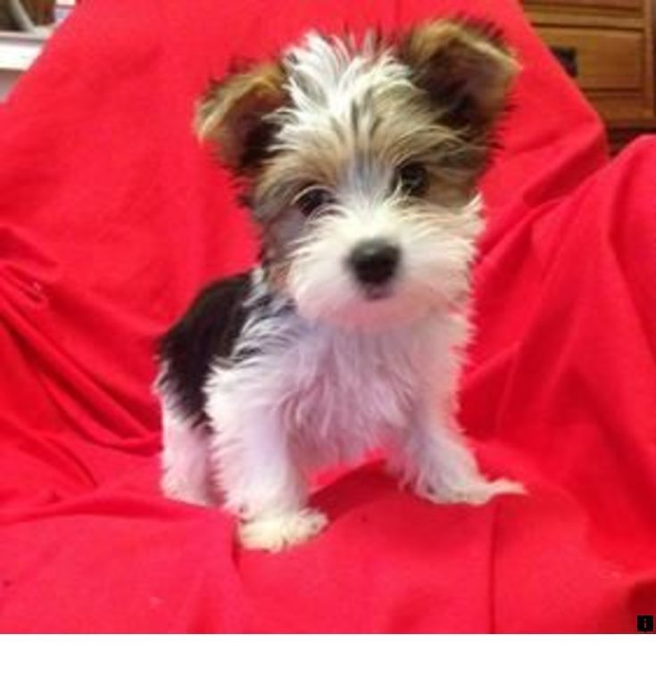 morkie poo puppies for sale in texas