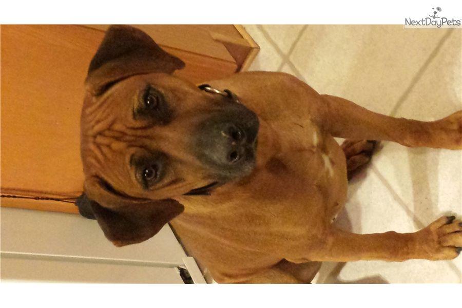Rhodesian Ridgeback Puppy For Sale Near Texoma Texas 3e6a78c6