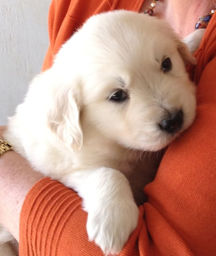 English Cream Golden Retriever The Day My Baby Boy Jake Picked Us