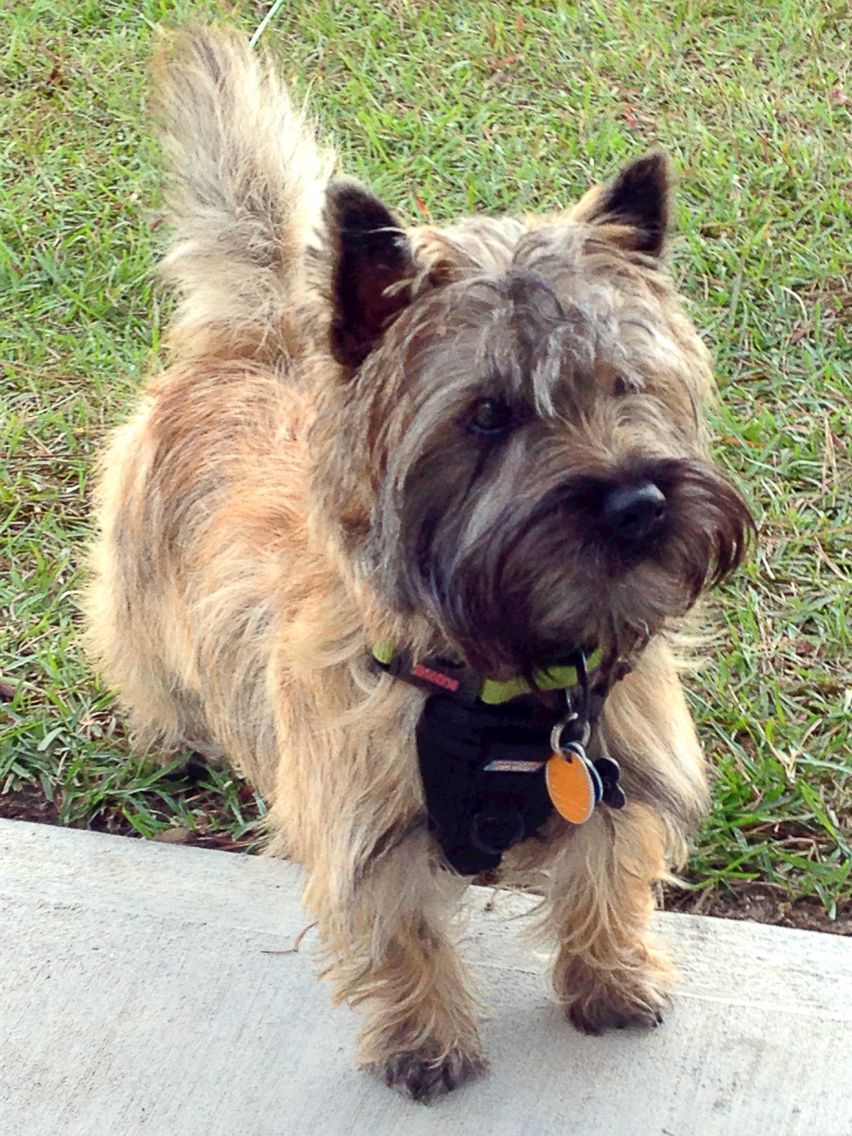 Fergus Cairn Terrier Cairn Terrier Puppies Terrier Puppies