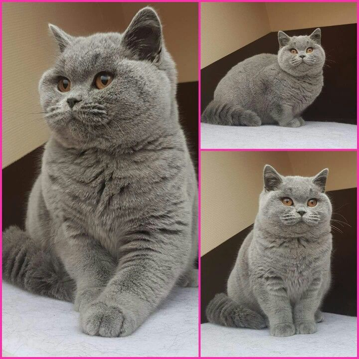 Pin By Tilla Wang On British Cats British Blue Cat Fluffy Critter British Shorthair Kittens