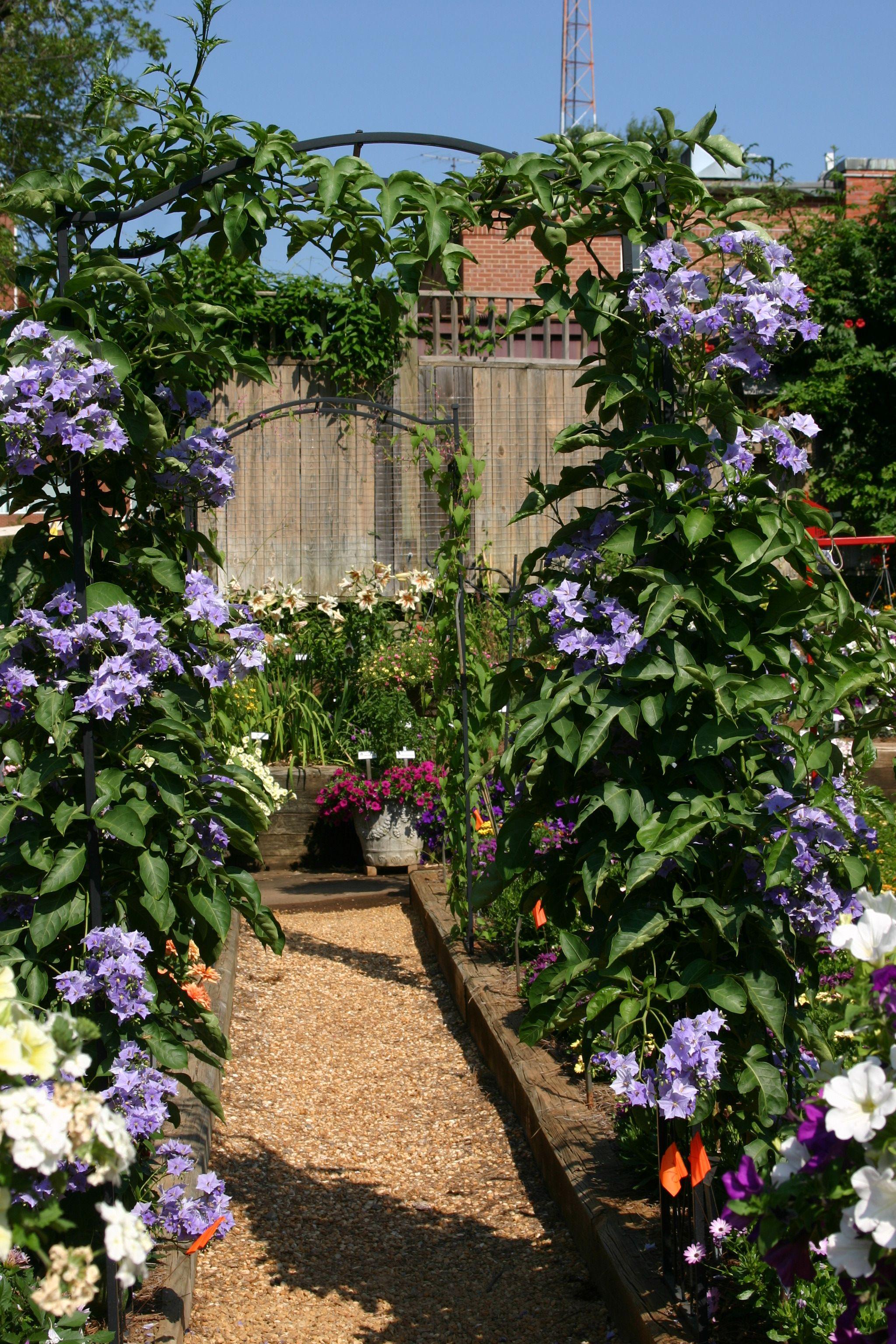Solanum Wendlandii Vine (Giant Potato, Paradise, Divorce Blue Gardengarden
