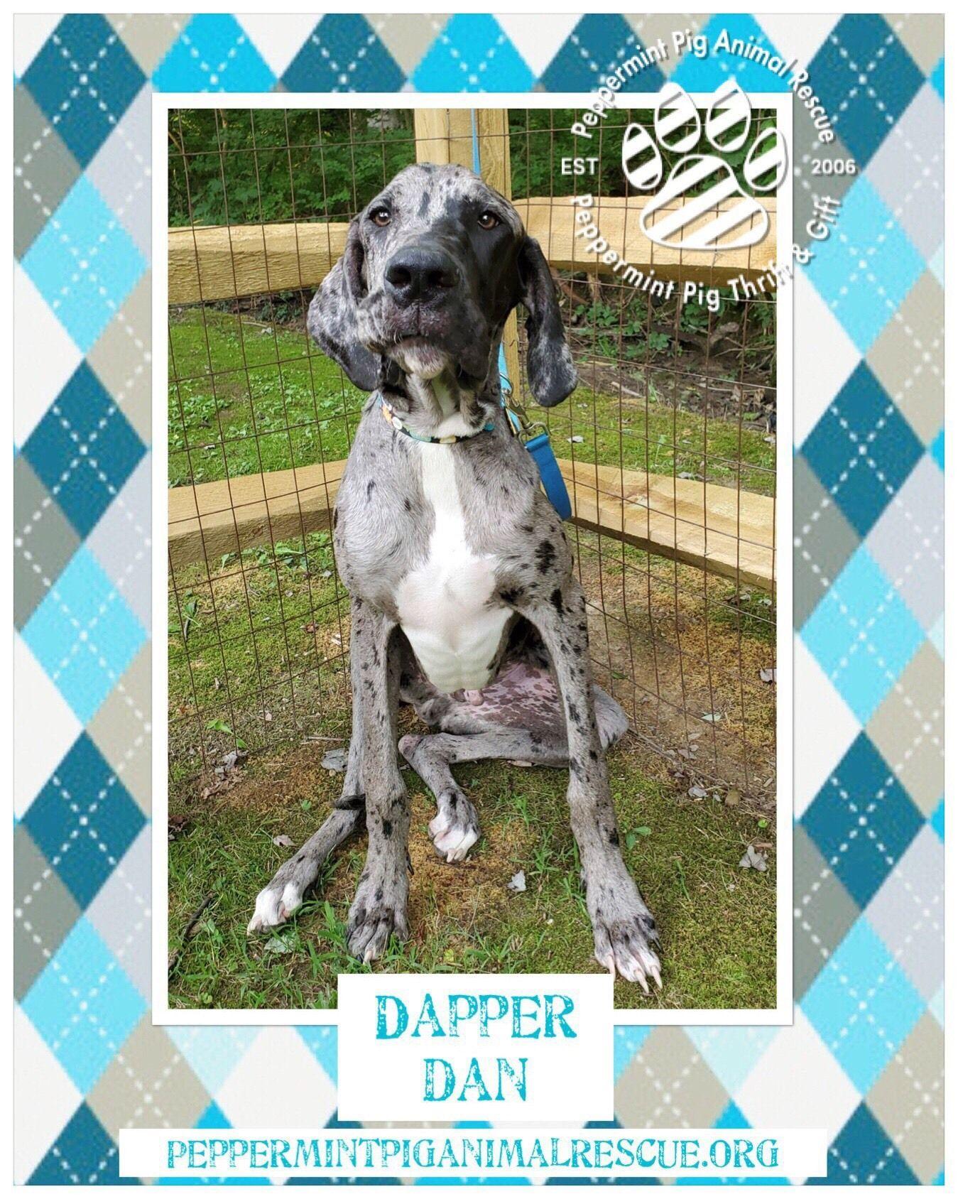 Adopt Dapper Dan Adoption Pending On Adoption Rescue Dogs Dane Dog